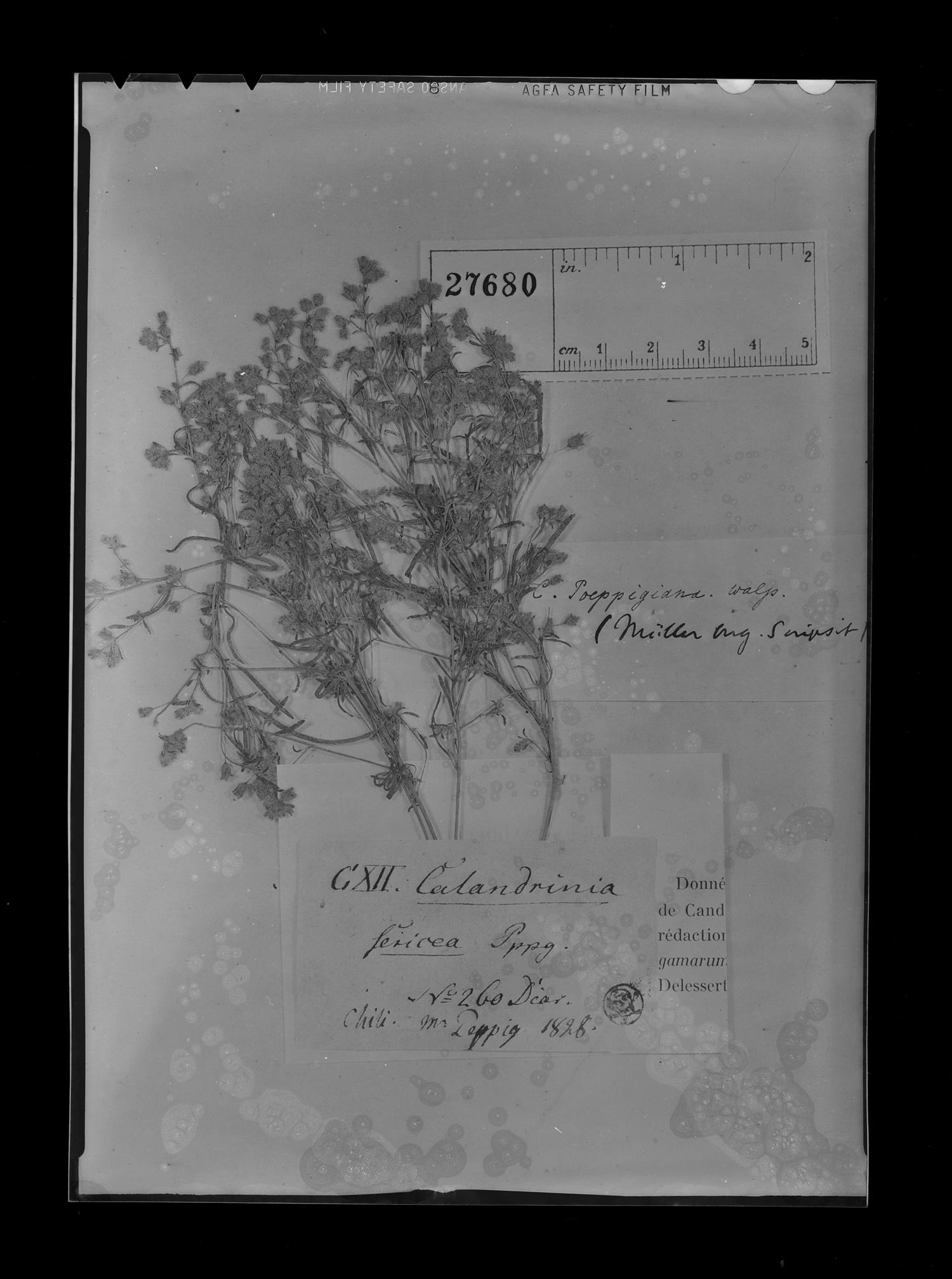 Montiopsis image