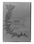 Field Museum photo negatives collection; Genève specimen of Cerastium floccosum Benth., ECUADOR, K. T. Hartweg 906, Type [status unknown], G