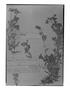 Field Museum photo negatives collection; Genève specimen of Cerastium mucronatum Wedd., BOLIVIA, G. Mandon 977, Syntype, G