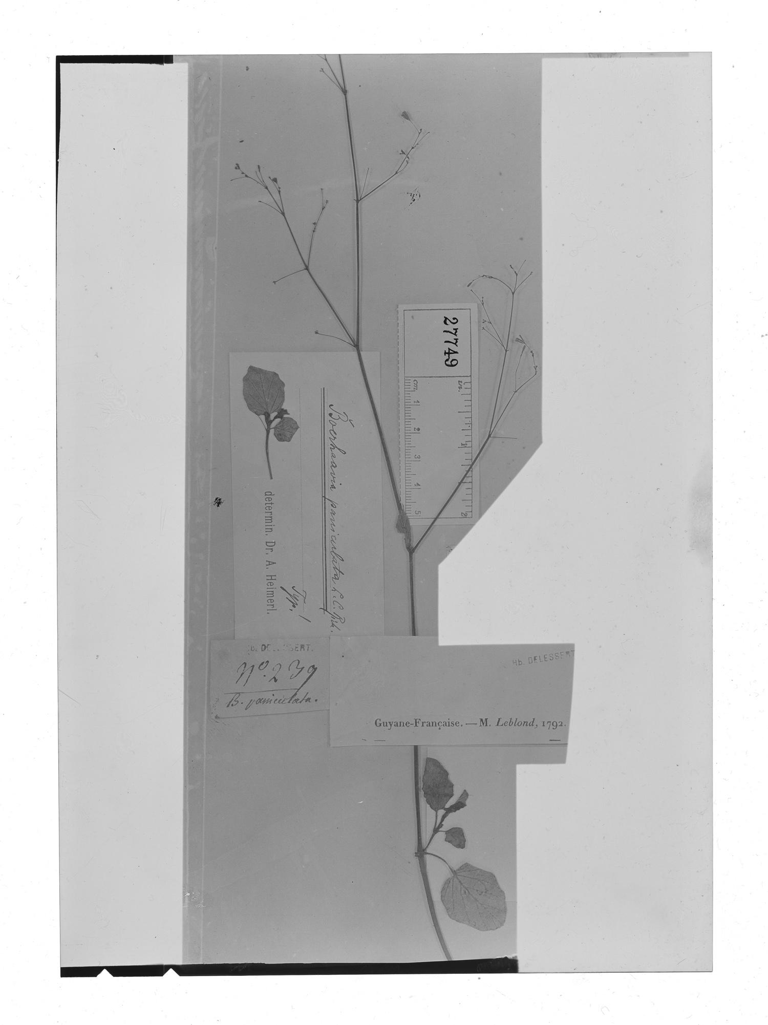 Boerhavia paniculata image