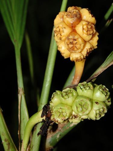 Specimen: Asplundia