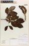 Zygia latifolia (L.) Fawc. & Rendle, Panama, G. D. McPherson 20333, F