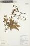 Hymenolobium petraeum Ducke, GUYANA, M. J. Jansen-Jacobs 5450, F