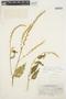 Chamissoa acuminata image