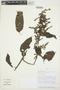 Chamissoa altissima (Jacq.) Kunth, PERU, E. Ortiz V. 539, F