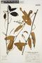 Chamissoa altissima (Jacq.) Kunth, PERU, P. Nuñez V. 1950, F