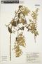 Chamissoa altissima (Jacq.) Kunth, ECUADOR, C. H. Dodson 5027, F