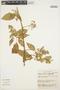 Chamissoa altissima (Jacq.) Kunth, ECUADOR, C. H. Dodson 7063, F