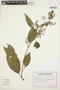 Chamissoa altissima (Jacq.) Kunth, ECUADOR, G. W. Harling 23119, F