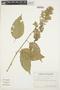 Chamissoa altissima (Jacq.) Kunth, ECUADOR, G. W. Harling 9511, F