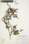 Chamissoa altissima (Jacq.) Kunth, ECUADOR, G. W. Harling 9282, F