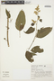 Chamissoa altissima (Jacq.) Kunth, BRAZIL, S. Romaniuc Neto 1316, F