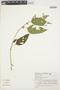 Chamissoa altissima (Jacq.) Kunth, BRAZIL, C. E. O. Lohmann 26, F