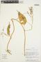 Chamissoa altissima (Jacq.) Kunth, COLOMBIA, Rod. Vásquez 12583, F