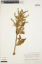 Chamissoa altissima (Jacq.) Kunth, COLOMBIA, I. Cabrera-Rodríguez 3567, F