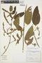 Chamissoa altissima (Jacq.) Kunth, ARGENTINA, J. E. Montes 15180, F