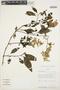 Chamissoa altissima (Jacq.) Kunth, Bolivia, J. C. Solomon 11057, F