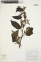 Chamissoa altissima (Jacq.) Kunth, COLOMBIA, J. L. Fernández-Alonso 10748, F