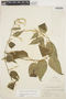 Chamissoa altissima (Jacq.) Kunth, COLOMBIA, Bro. Paul 851, F
