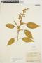 Chamissoa altissima (Jacq.) Kunth, COLOMBIA, A. E. Lawrence 201A, F