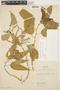 Chamissoa altissima (Jacq.) Kunth, COLOMBIA, K. von Sneidern 5713, F