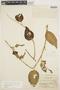 Chamissoa altissima (Jacq.) Kunth, PERU, E. P. Killip 27509, F