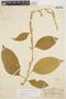 Chamissoa altissima (Jacq.) Kunth, PERU, G. Klug 2648, F