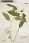 Chamissoa altissima (Jacq.) Kunth, ECUADOR, M. E. Mathias 5171, F