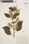 Chamissoa altissima (Jacq.) Kunth, ECUADOR, M. Acosta Solis 13632, F
