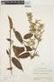 Chamissoa altissima (Jacq.) Kunth, ECUADOR, J. A. Steyermark 54047, F