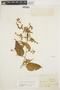 Chamissoa altissima (Jacq.) Kunth, BRAZIL, J. B. A. Guillemin 992, F