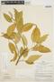 Chamissoa altissima (Jacq.) Kunth, PERU, J. Schunke Vigo 1625, F