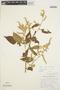 Chamissoa altissima (Jacq.) Kunth, VENEZUELA, A. H. G. Alston 5641, F