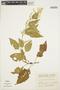 Chamissoa altissima (Jacq.) Kunth, COLOMBIA, R. Romero Castañeda 10783, F
