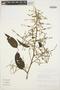 Chamissoa altissima (Jacq.) Kunth, ECUADOR, D. A. Neill 5936, F