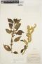 Chamissoa altissima (Jacq.) Kunth, COLOMBIA, O. L. Haught 4018, F