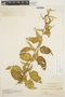 Chamissoa altissima (Jacq.) Kunth, COLOMBIA, O. L. Haught 2480, F