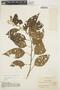 Chamissoa altissima (Jacq.) Kunth, COLOMBIA, O. L. Haught 2015, F