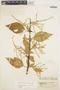 Chamissoa altissima (Jacq.) Kunth, COLOMBIA, E. P. Killip 34341, F