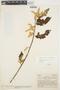 Chamissoa altissima (Jacq.) Kunth, COLOMBIA, A. Dugand G. 764, F