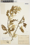Chamissoa altissima (Jacq.) Kunth, COLOMBIA, J. Cuatrecasas 7439, F
