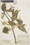 Chamissoa altissima (Jacq.) Kunth, COLOMBIA, J. Cuatrecasas 13166, F