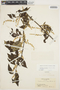 Chamissoa altissima (Jacq.) Kunth, COLOMBIA, J. Cuatrecasas 4511, F