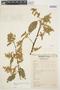 Chamissoa altissima var. rubella Suess., PERU, C. Vargas C. 789, F