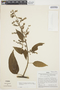 Chamissoa altissima var. rubella Suess., PERU, J. Schunke Vigo 4388, F