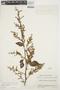 Chamissoa altissima var. rubella Suess., ECUADOR, J. A. Steyermark 52485, F