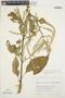 Chamissoa altissima var. rubella Suess., BOLIVIA, R. F. Steinbach 269, F