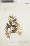 Chamissoa altissima var. rubella Suess., BRAZIL, B. J. Pickel 3095, F