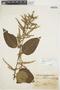 Chamissoa altissima var. rubella Suess., ARGENTINA, A. L. Cabrera 3123, F