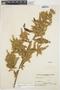 Chamissoa altissima var. rubella Suess., ARGENTINA, A. L. Cabrera 4149, F